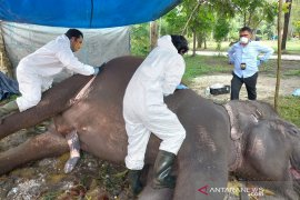 BBKSDA Riau ungkap penyebab kematian gajah di Bonbin Kasang Kulim, begini kronologinya