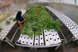 Pertanian hidroponik peluang usaha di lahan terbatas
