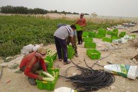 Penyuluh Indonesia berkiprah dalam pengembangan pertanian organik di Qatar