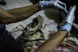 Nasib Harimau Sumatera Mati terjerat Page 3 Small