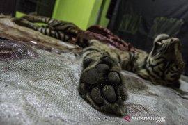 Nasib Harimau Sumatera Mati terjerat Page 5 Small