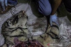 Nasib Harimau Sumatera Mati terjerat Page 1 Small