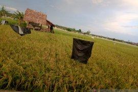 Produksi beras petani Namang Bangka Tengah mencapai 185,5 Ton