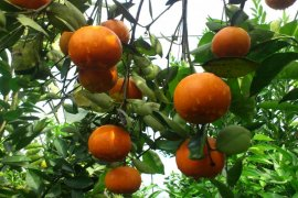 Berkat teknologi genetik, jeruk Indonesia siap bersaing dengan jeruk impor