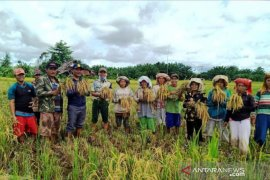 COVID-19, mahasiswa Polbangtan Medan tetap semangat kawal panen padi lokal di Tapteng