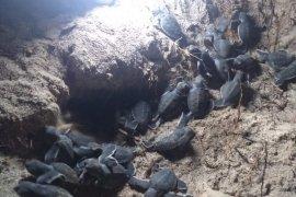 BKKPN KKP lepas liarkan 107 tukik penyu di kawasan konservasi