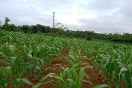 Di lahan kering, BPTP Banten tingkatkan produksi jagung