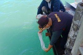 KKP lepasliarkan 31.065 benih lobster hasil sitaan dari upaya penyelundupan