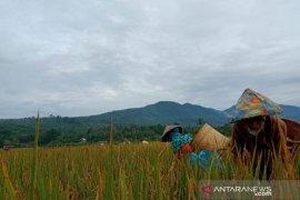 Mahasiswa Polbangtan Medan asal Bengkulu dampingi petani memanen padi