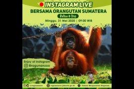 Wisata virtual Ragunan hadirkan pasangan orangutan Sumatera