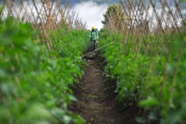 Biaya pemeliharaan tanaman pertanian terus meningkat
