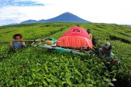 Pekerja memanen teh di kebun PTPN6 Kayu Aro