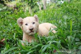 Gisel, bayi singa putih lahir di Taman Safari Prigen