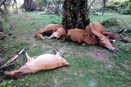 Tujuh ekor lembu warga Padang Tualang Langkat mati disambar petir