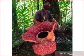 KPPL Bengkulu rilis normal baru saat menyaksikan Rafflesia arnoldii