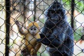 Anak Lutung Jawa Dalam Pelukan Ibunya Hadir Di Bandung Zoo Page 1 Small