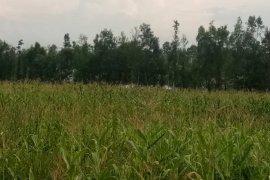 Penyuluh pertanian kawal petani panen jagung di Sarolangun