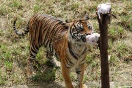 Harimau sumatera lahap ayam potong Page 1 Small