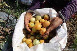 Harga tomat membaik