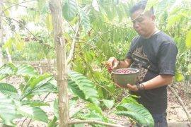 Dampak COVID-19, harga kopi di Bengkulu anjlok
