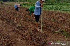 Pandemi COVID-19, Polbangtan Medan tetap semangat dampingi petani