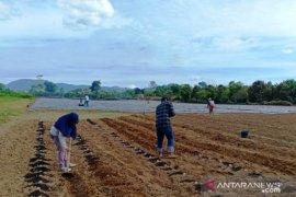 Masuki adaptasi baru, Mahasiswa Polbangtan Medan tanam kentang bersama petani Karo
