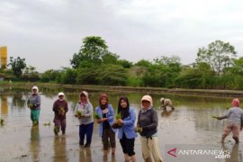 Mahasiswa Polbangtan Medan dampingi Koptan Subur Binjai budi daya padi semi organik