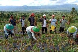 Petani bawang putih di Kerinci panen ikut berperan kurangi ketergantungan impor