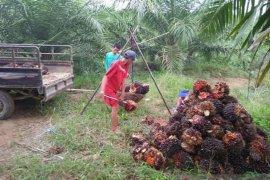 Harga buah sawit di Mukomuko berangsur naik