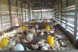 Biaya pemeliharaan meningkat sebabkan harga daging ayam  naik