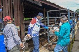 Ini langkah Plt Gubernur Aceh, tangani sapi di Saree
