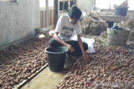 Petani di lereng Sumbing panen bawang merah saat harga tinggi