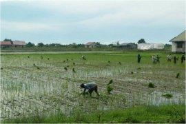 Antisipasi Krisis Pangan, Petani Katingan Kuala Percepat Tanam