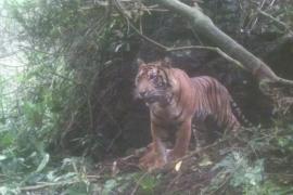 Harimau yang meresahkan warga masuk perangkap