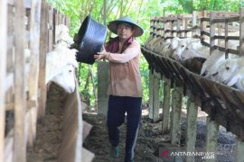 ACT gandeng  peternak lokal siapkan hewan kurban Idul Adha