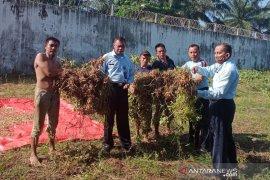 Napi rutan Bengkulu Selatan panen kacang tanah