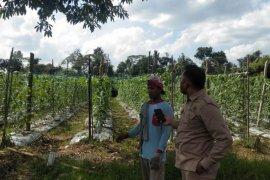 Menuju normal baru, Petani Jambi  budidayakan tanaman dukung program pekarangan pangan lestari (P2L)
