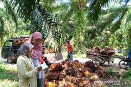 Mahasiswa Polbangtan Medan dampingi petani Siak Kecil panen sawit