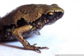 Peneliti LIPI temukan katak mini di selatan Pulau Sumatera