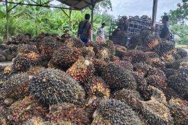 Petani sawit Abdya merugi Rp9 miliar/hari. Ini penyebabnya