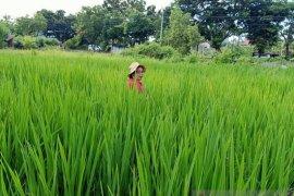 Beras merah Desa Munduk-Buleleng ditingkatkan produksinya