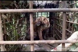 Warga Gantung Ciri  lega, harimau yang sempat berkeliaran berhasil ditangkap