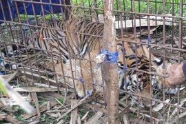 BKSDA Aceh lepas liarkan seekor harimau sumatera