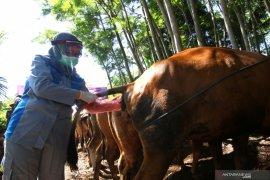 Pemeriksaan kesehatan sapi peternakan warga