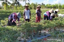5 hektare tanaman cabai di Mukomuko terserang jamur