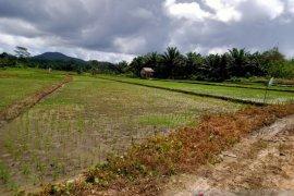 DKPP Belitung kembangkan padi Inpari Nutri Zinc