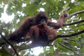 Orangutan Sumatera tiba-tiba muncul di Danau Lau Kawar
