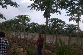 Panen pepaya tumbuhkan ekonomi  warga Lebak di masa pandemi COVID-19