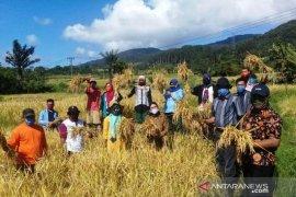 Panen padi varietas lokal siporang Sipirok capai 8,56 ton per ha