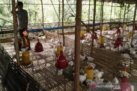 South Kalimantan breeders run out of chicks breeds stock